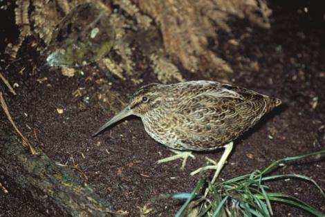 Snares Island snipe. Adult. North East Island, Snares Islands, December 1985. Image © Colin Miskelly by Colin Miskelly
