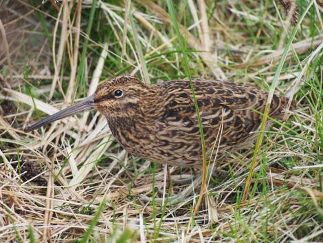 Subantarctic snipe. Adult Campbell Island snipe. Campbell Island, March 2013. Image © Mary-Anne Lea by Mary-Anne Lea