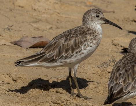 Great knot. Non-breeding adult. Cairns foreshore, January 2017. Image © Imogen Warren by Imogen Warren