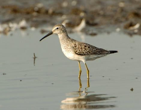 Stilt sandpiper. Nonbreeding adult. Illinois, September 2007. Image © Jim Denny by Jim Denny