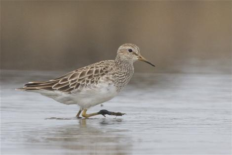 Pectoral sandpiper. Non-breeding adult wading. Lake Ellesmere, February 2014. Image © Steve Attwood by Steve Attwood   http://www.flickr.com/photos/stevex2/