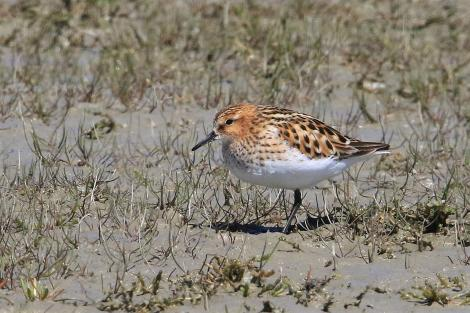 Little stint. Adult in breeding plumage. Embankment Road Lake Ellesmere, November 2019. Image © Steve Attwood by Steve Attwood © Steve Attwood