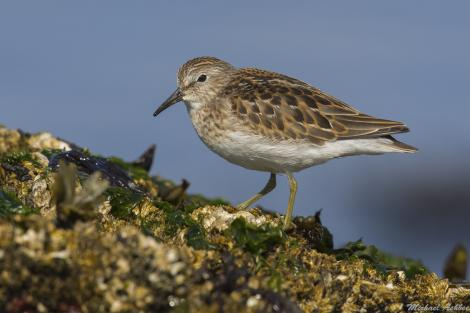 Least sandpiper. Adult in breeding plumage. Victoria, British Columbia, May 2015. Image © Michael Ashbee by Michael Ashbee C/O Michael Ashbee www.mikeashbeephotography.com