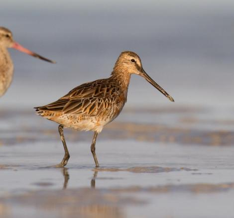 Asiatic dowitcher. Adult in partial breeding plumage. Broome, Western Australia, May 2015. Image © Richard Else by Richard Else