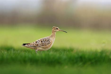 Little whimbrel. Adult on migration, searching for insects in grassland. Shanghai, China, April 2010. Image © Jacques Wei by Jacques Wei