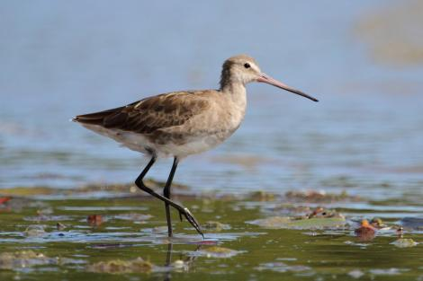 Black-tailed godwit. Adult in non-breeding plumage. Cairns, Queensland, January 2014. Image © Richard Else by Richard Else