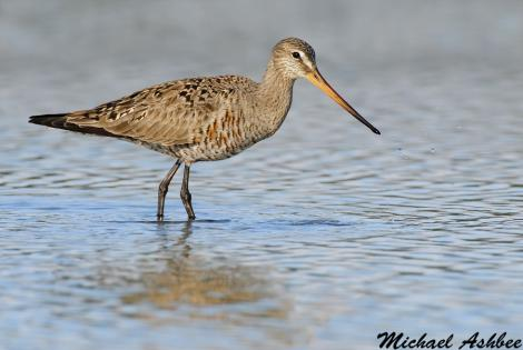 Hudsonian godwit. Adult female in partial breeding plumage. Parksville, British Columbia, Canada, May 2011. Image © Mike Ashbee by Mike Ashbee Courtesy ofhttp://www.mikeashbeephotography.com