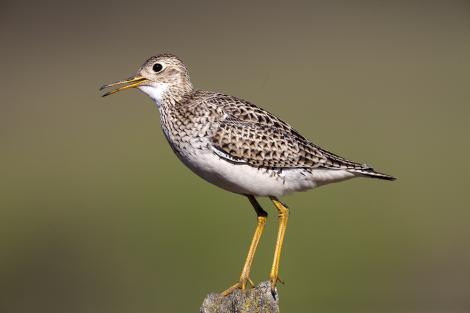 Upland sandpiper. Adult bird calling from fencepost. Manhattan,  Kansas,  USA, April 2016. Image © David Rintoul by David Rintoul
