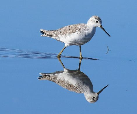 Marsh sandpiper. Adult non-breeding. Tolderol Game Reserve, South Australia, February 2018. Image © John Fennell by John Fennell