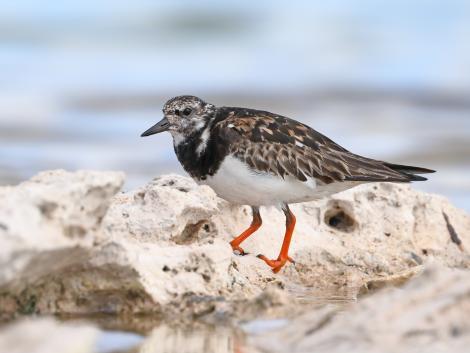 Ruddy turnstone. Adult in non-breeding plumage. Rottnest Island, Western Australia, September 2019. Image © Glenn Pure 2019 birdlifephotography.org.au by Glenn Pure
