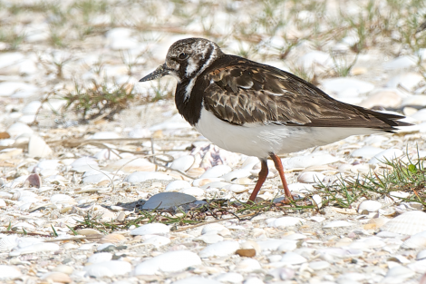 Ruddy turnstone. Adult non-breeding plumage. Waipu estuary, October 2014. Image © Les Feasey by Les Feasey