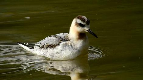 Grey phalarope. Juvenile (first winter). Loscoe Dam, Derbyshire, England, October 2016. Image © Alan Shaw by Alan Shaw