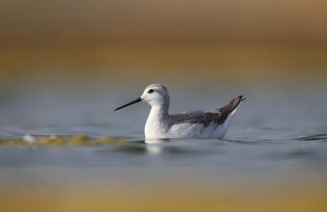 Wilson's phalarope. Non-breeding adult swimming. Westshore Wildlife Reserve, Napier, December 2016. Image © Adam Clarke by Adam Clarke