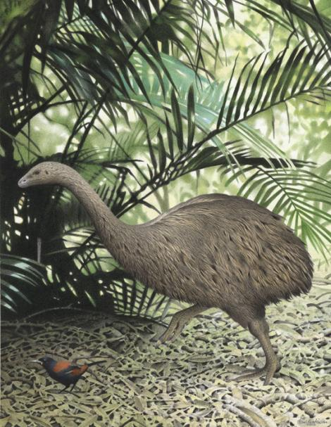 Little bush moa. Image 2006-0010-1/22 from the series 'Extinct birds of New Zealand'. Masterton. Image &copy; Purchased 2006. © Te Papa by Paul Martinson See Te Papa website: <a href=