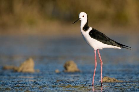 Pied stilt. Adult. Miranda, March 2008. Image © Tony Whitehead by Tony Whitehead www.wildlight.co.nz