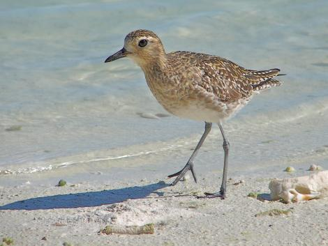 Pacific golden plover. Non-breeding adult. Cook Islands, August 2006. Image © John Flux by John Flux