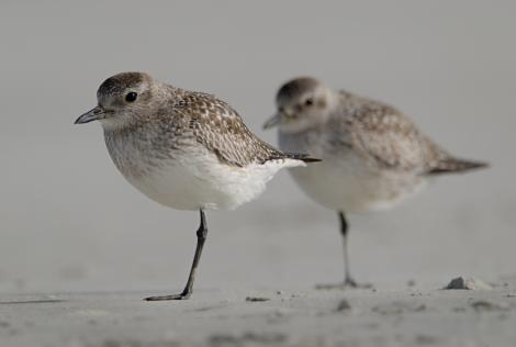 Grey plover. Adults, non-breeding. Warrington Beach,  Otago, December 2006. Image © Craig McKenzie by Craig McKenzie