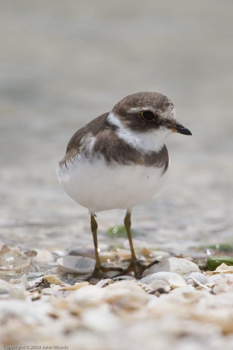 Semipalmated plover. Adult non-breeding, showing semipalmations (partial webbing between outer toes). Kidds Beach, December 2009. Image © John Woods by John Woods