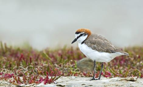 Red-capped plover. Adult male. Port Arthur, South Australia, January 2016. Image © Craig Greer by Craig Greer http://craiggreer.com