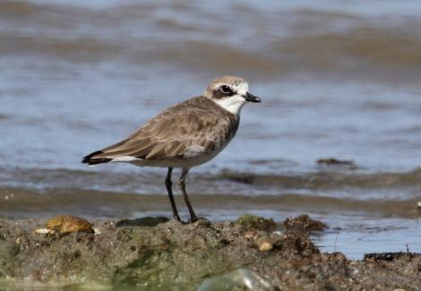 Lesser sand plover. Adult in non-breeding plumage. Cairns, Queensland, January 2014. Image © Richard Else by Richard Else