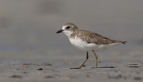 Lesser sand plover. Adult in non-breeding plumage. Chilli Beach, Kutini-Payamu (Iron Range) National Park, Queensland, June 2014. Image © David Newell 2014 birdlifephotography.org.au by David Newell