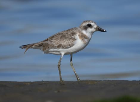 Greater sand plover. Nonbreeding adult. Ashley estuary,  Canterbury, September 2020. Image © Adam Colley by Adam Colley