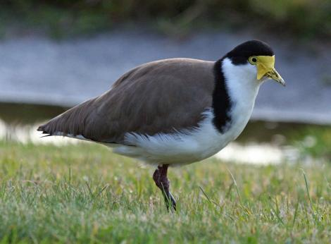 Spur-winged plover. Adult. Wellington, June 2009. Image © Duncan Watson by Duncan Watson