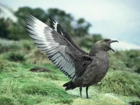 Subantarctic skua. Adult displaying. North East Island, Snares Islands, November 1987. Image © Colin Miskelly by Colin Miskelly