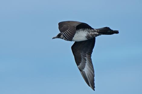 Pomarine skua. Pale morph non-breeding adult in flight. North Cape pelagic, March 2015. Image © Les Feasey by Les Feasey