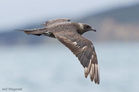 Arctic skua. Adult in flight. Hauraki Gulf, November 2011. Image © Neil Fitzgerald by Neil Fitzgerald www.neilfitzgeraldphoto.co.nz