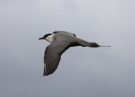 Long-tailed skua. Pale morph adult developing breeding plumage, in flight. At sea off Wollongong, New South Wales, Australia, March 2008. Image © Brook Whylie by Brook Whylie http://www.sossa-international.org