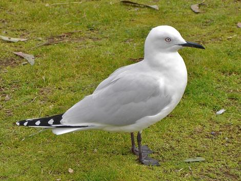 Black-billed gull. Adult standing on grass. Lake Taupo, July 2009. Image © John Flux by John Flux
