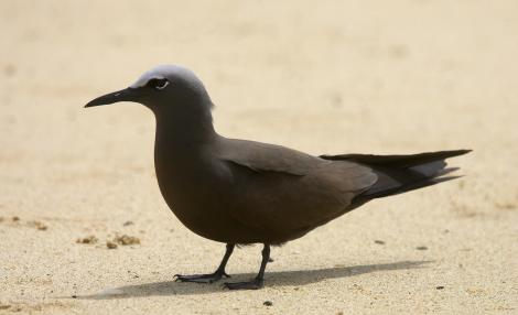 Brown noddy. Adult. Lord Howe Island, November 2007. Image © Sonja Ross by Sonja Ross