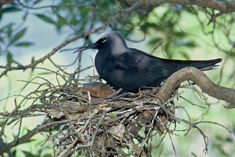 Black noddy. Adult on nest. North Meyer Islet, Kermadec Islands, November 1966. Image © Department of Conservation (image ref: 10043421) by Don Merton Courtesy of Department of Conservation