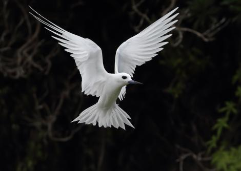 White tern. Adult hovering. Neds Beach, Lord Howe Island, April 2019. Image © Glenn Pure 2019 birdlifephotography.org.au by Glenn Pure