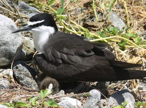 Bridled tern. Adult at nest with chick. Lady Elliot Island, Queensland, November 2012. Image © Tony Crocker by Tony Crocker