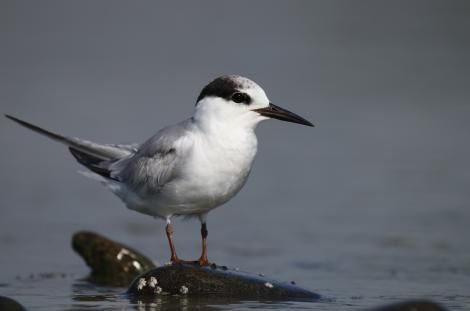 Little tern. Non-breeding adult. Clive rivermouth, Hawke's Bay, October 2016. Image © Adam Clarke by Adam Clarke