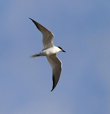 Gull-billed tern. Adult in flight. Wanganui, May 2013. Image © Ormond Torr by Ormond Torr