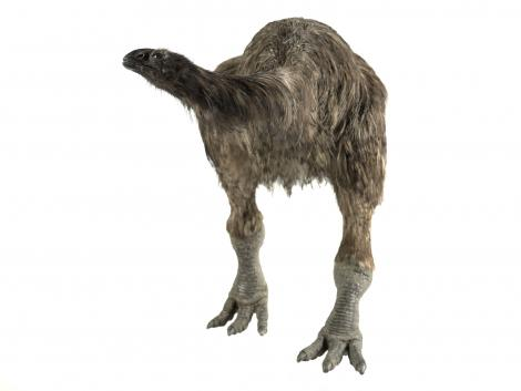 Stout-legged moa. Model (adult). Purchased 2006. Specimen registration no. S.044281; image no. MA_I079458. . Image © Te Papa See Te Papa website: http://collections.tepapa.govt.nz/objectdetails.aspx?irn=713143&term=S.044281