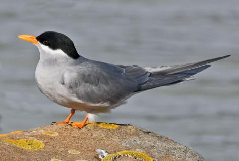 Black-fronted tern. Adult. Boulder Bank,  Nelson, June 2008. Image © Rebecca Bowater FPSNZ by Rebecca Bowater  FPSNZ Courtesy of Rebecca Bowater FPSNZwww.floraandfauna.co.nz
