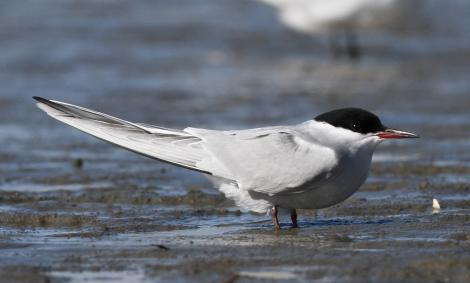 Arctic tern. Adult entering breeding plumage. Manawatu River estuary, March 2010. Image © Phil Battley by Phil Battley