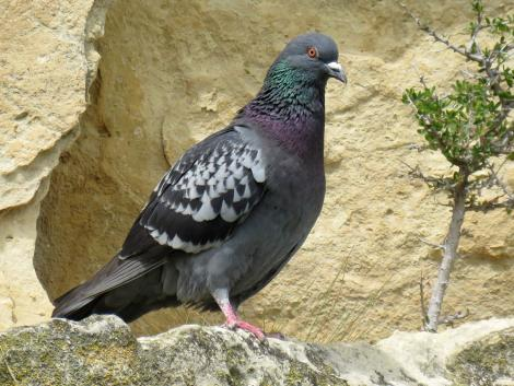 Rock pigeon. Adult roosting on sandstone cliff. Duntroon, October 2016. Image © Scott Brooks (ourspot) by Scott Brooks