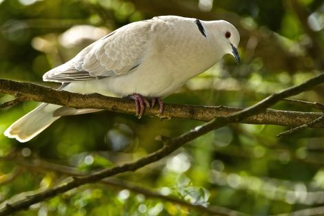 Barbary dove. Adult male displaying. Kerikeri, Northland, September 2013. Image © Les Feasey by Les Feasey