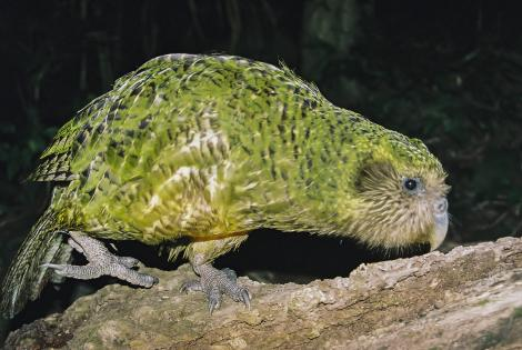 Kakapo. Adult male (Sirocco). Maud Island. Image © Dylan van Winkel by Dylan van Winkel