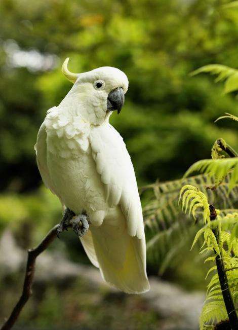 Sulphur-crested cockatoo. Ventral profile view of adult perching. Waitakere Ranges, Auckland. Image © Eugene Polkan by Eugene Polkan