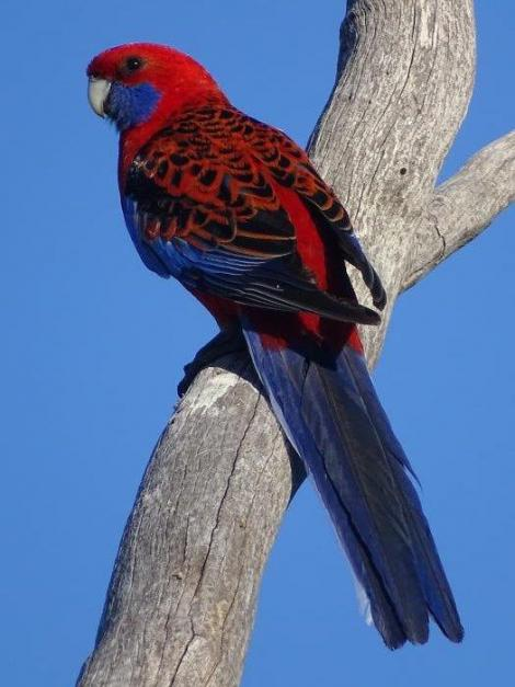 Crimson rosella. Adult. Canberra, Australia, October 2018. Image © R.M. by R.M.