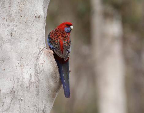 Crimson rosella. Adult. Black Mountain Reserve, Canberra, Australian Capital Territory, August 2015. Image © Glenn Pure 2015 birdlifephotography.org.au by Glenn Pure