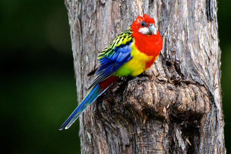 Eastern rosella. Adult male on kanuka. Orongo Bay, Russell, September 2014. Image © Les Feasey by Les Feasey