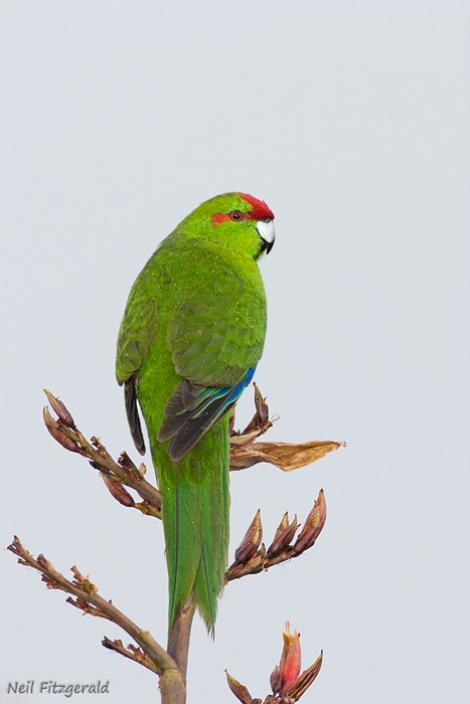 Red-crowned parakeet. Adult male. Tiritiri Matangi Island, November 2007. Image © Neil Fitzgerald by Neil Fitzgerald www.neilfitzgeraldphoto.co.nz