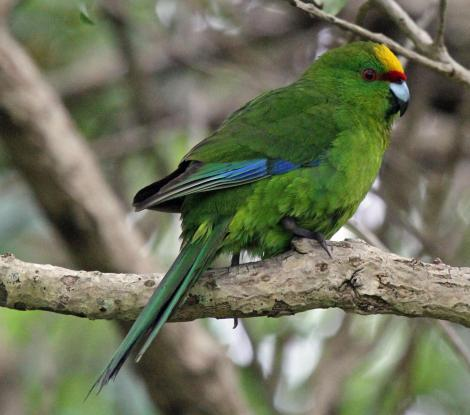 Yellow-crowned parakeet. Adult perched. Mana Island, December 2009. Image © Duncan Watson by Duncan Watson